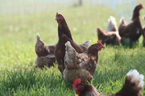Unsere Bio-Hühner